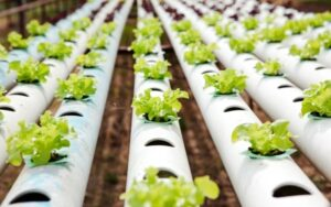 Tanaman Hidroponik Sayur Dan Buah Yang Mudah Ditanam