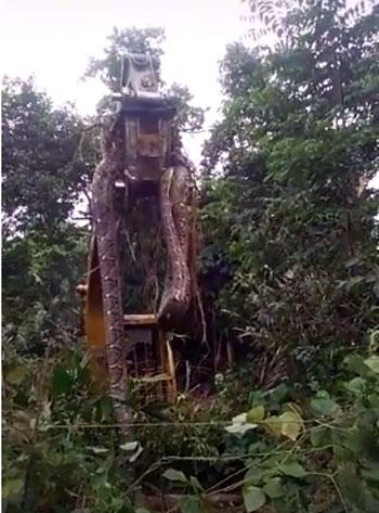 Viral! Ular Piton Sepanjang 10 Meter Dievakuasi Menggunakan Eskavator